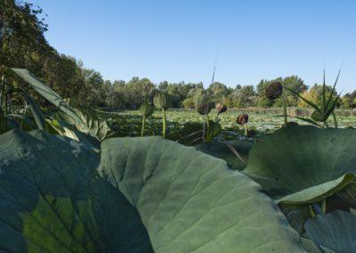 Parco del loto Lugo